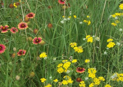 Wildflowers in Palo Duro Canyon
