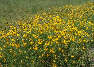Wild Flowers in Palo Duro Canyon